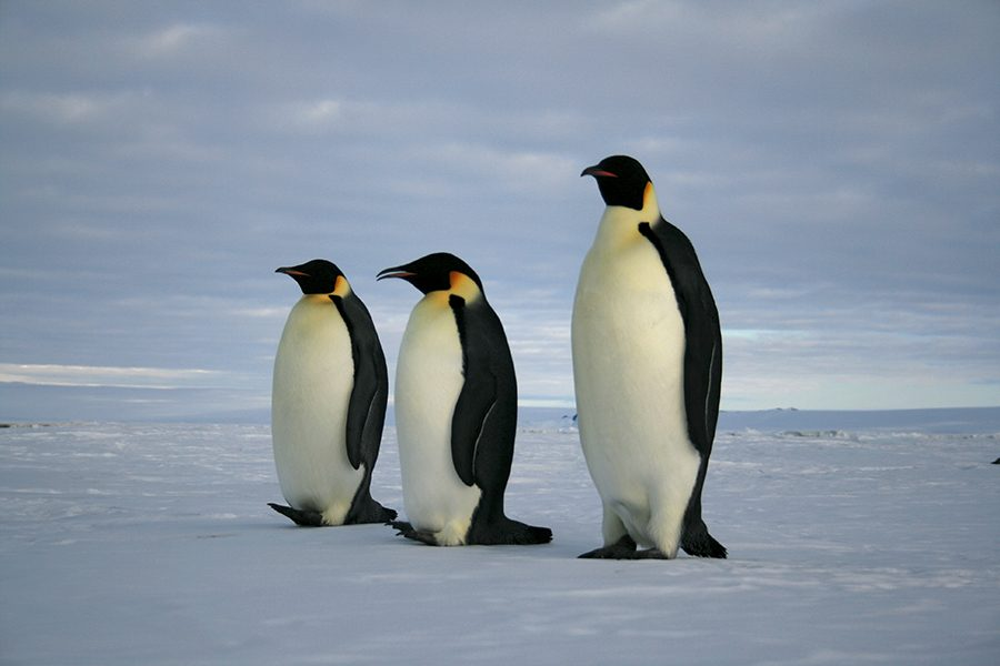 Three penguins walking along the ice.