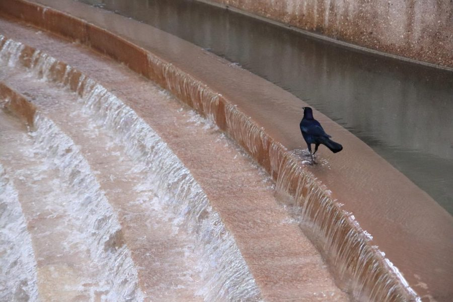 Bird coming for a drink from a small waterfall