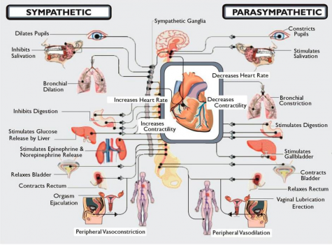 Parts of the Autonomic Nervous System that can cause problems for people with Dysautonomia