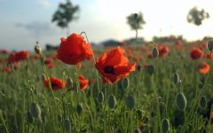 The Poppies wave to help us remember the sacrifice of so many.