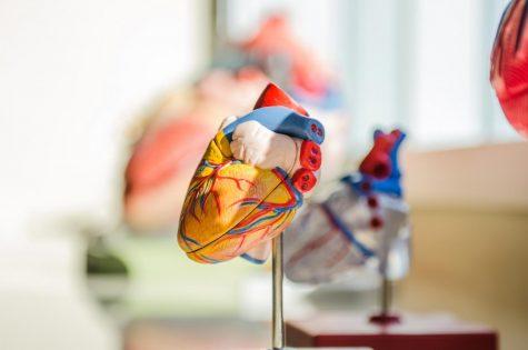 A model of a human heart